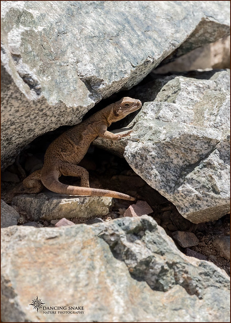 _03A7224 Chuckwalla (Sauromalus ater) ©Dancing Snake Nature Photography