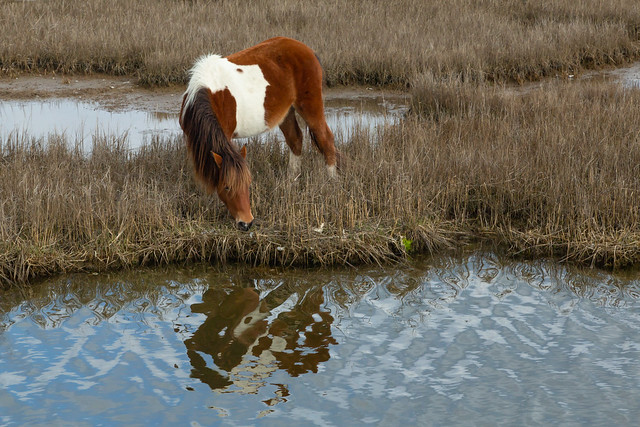 Grazing at the Marsh