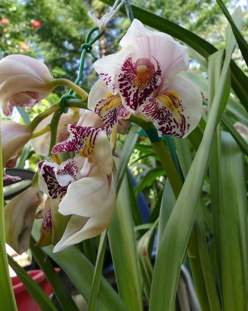 Cymbidium Cleo's Melody peloric hybrid orchid 3-21