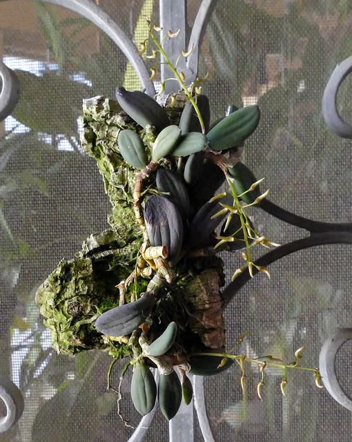 1st bloom starting, Dendrobium linguiforme species orchid 3-21