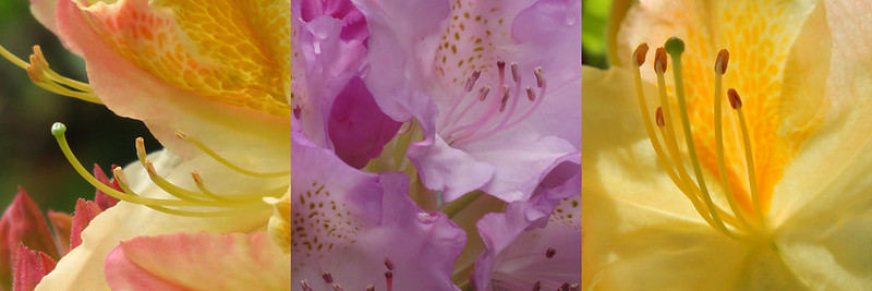 The April colours of yellow and pale purple in this Azalea triptych