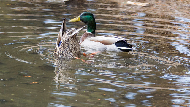 Canards colvert - Mallard ducks, Québec, Canada - 3740