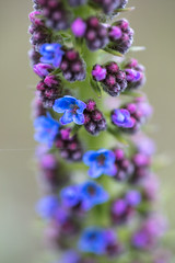 Echium-Starting-to-Bloom