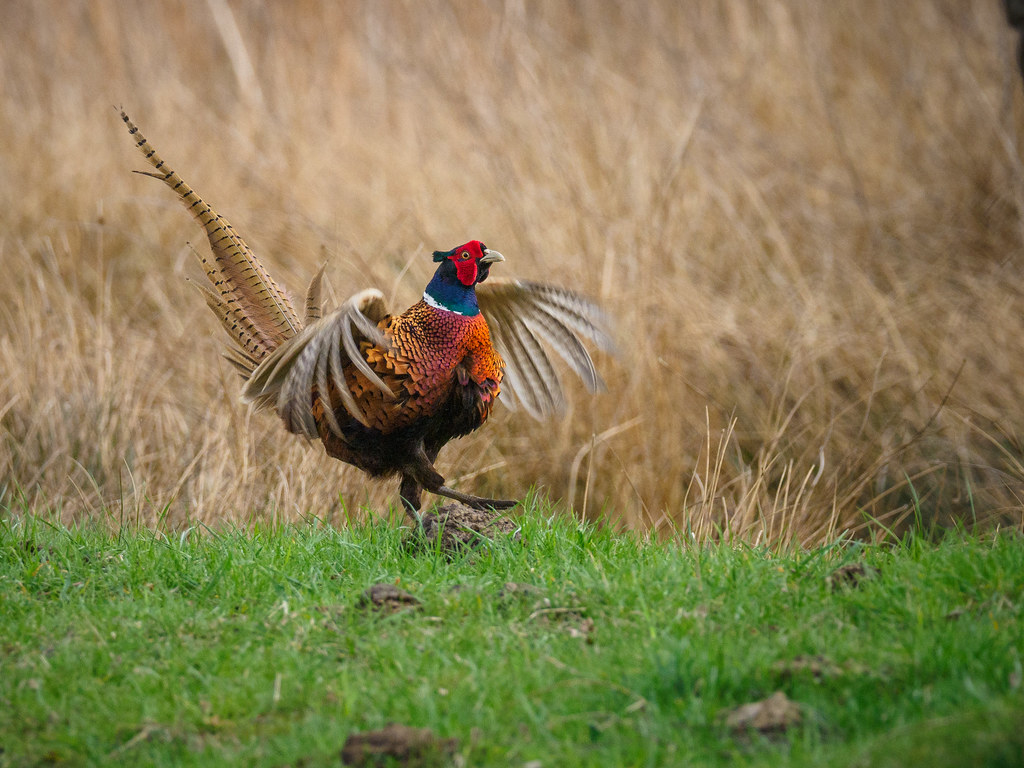 Courting pheasant