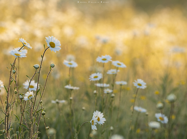 A stunning display of oxeye daisies last summer at Stoke Park.