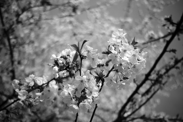 Cherry Blossom - (Black and) White