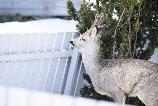 A cute wild  deer came to my backyard