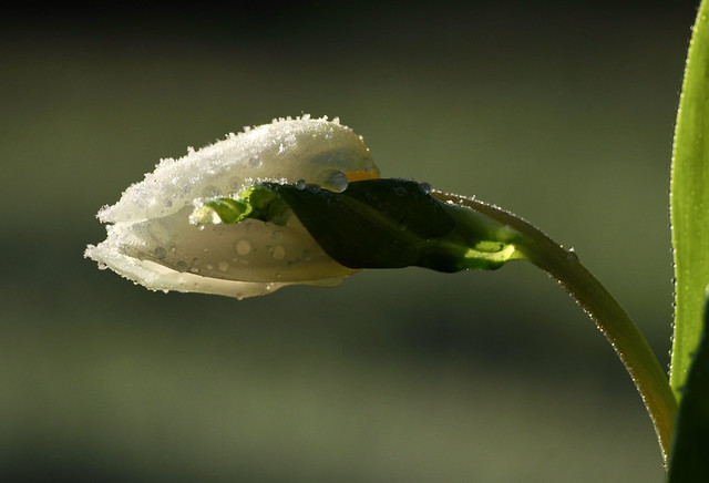 Frozen Tulip. (on explore)