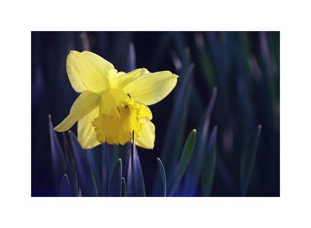 Daffodil (film), ca 2008