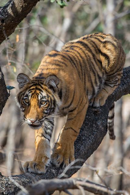 A bengal tiger cub in a tree