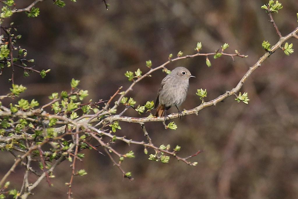 Black Redstart [1st Winter]