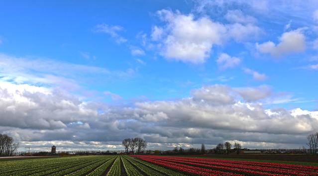 Tulip fields  -  Meerdonk -  Belgium