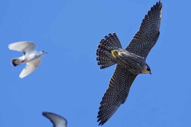 Peregrine Falcon,juvenile