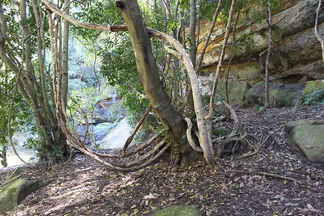 Five leaf water vine (Cissus hypoglauca) & Coachwood