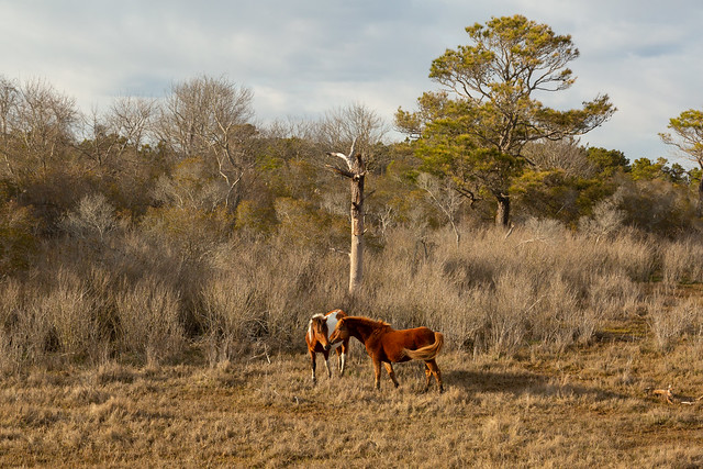 Love is in the Air in Assateague
