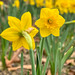 "Relationship Daffodils (2 of 3): ""We complement each other"""