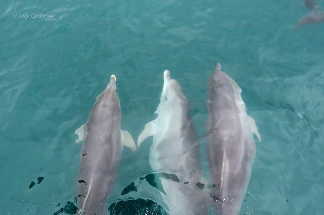 Bottlenose dolphins (Tursiops truncatus ponticus)