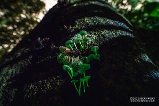 Bioluminescent mushrooms - DSC_1423
