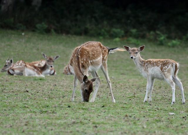 Dama dama - Daim européen (Daine) - Fallow deer - 30/08/15
