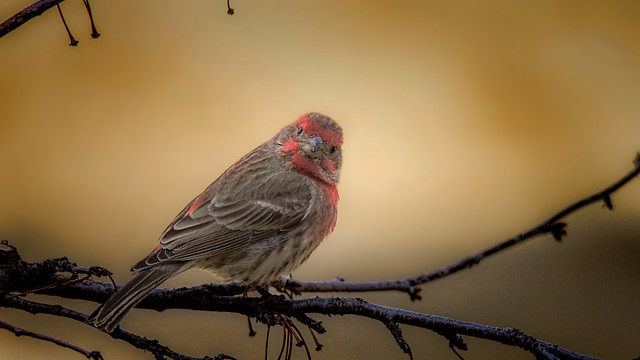Staring Competition - will the Finch flinch