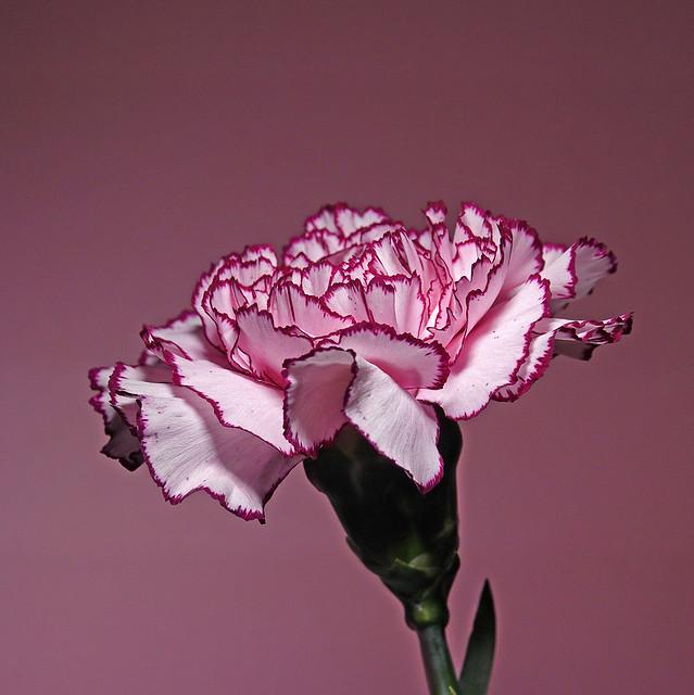 365 - Image 103 - Pink...