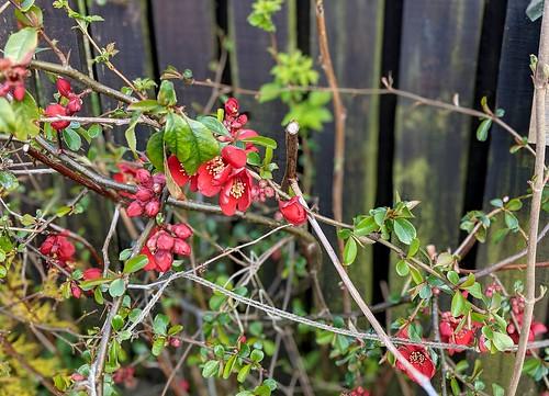 quince  Flowers , my garden