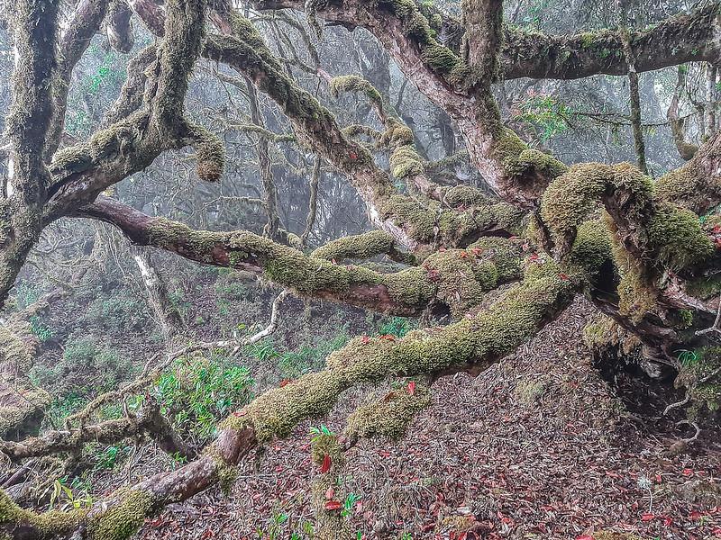 加奈鹿山主稜線杜鵑林 (8)