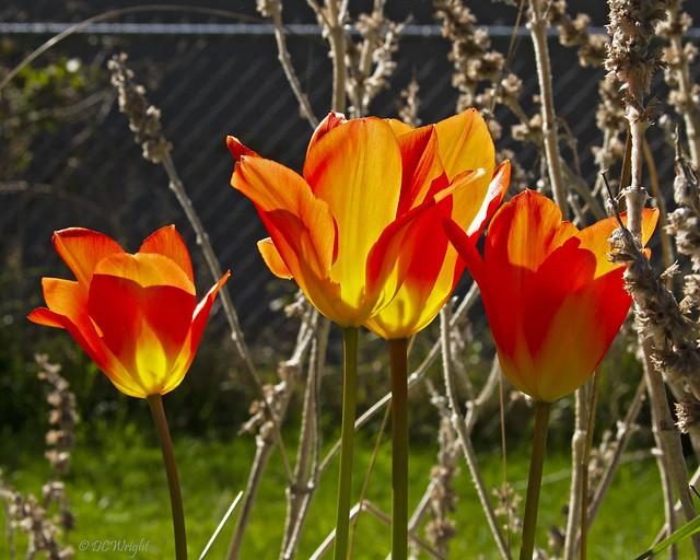 Sunlit Tulips_4062
