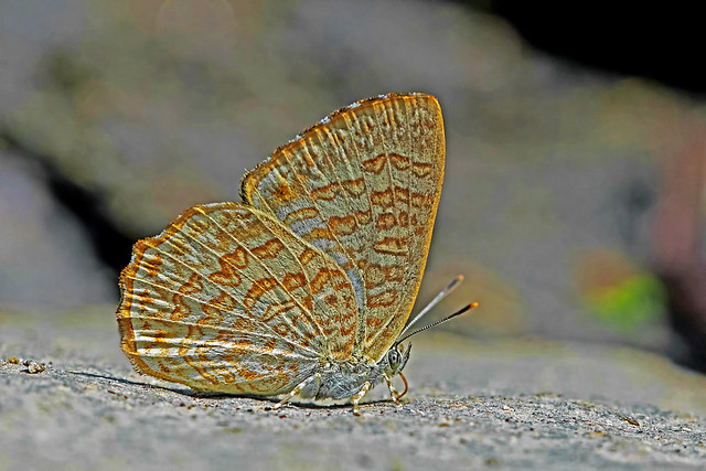 Poritia hewitsoni - the Common Gem (female)