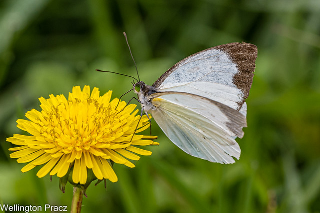 MOUNTAIN WHITE BUTTERFLY