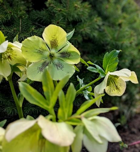 Flowers, my garden, hellebores
