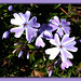 Play of light & shadow on phlox macro ( very highly edited)