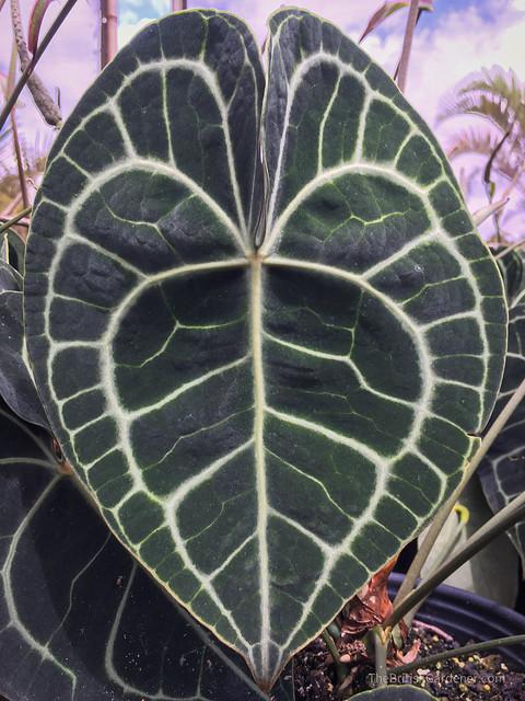 Anthurium crystallinum