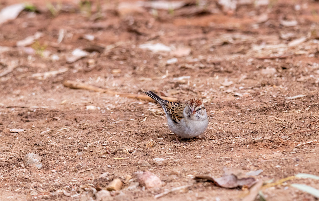 Chipper in the Dirt