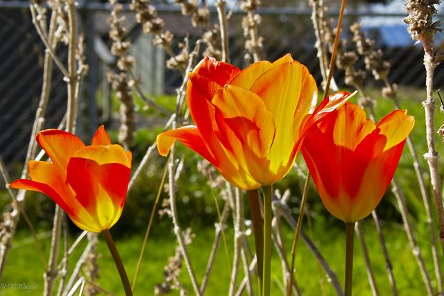 Sunlit Tulips_4061