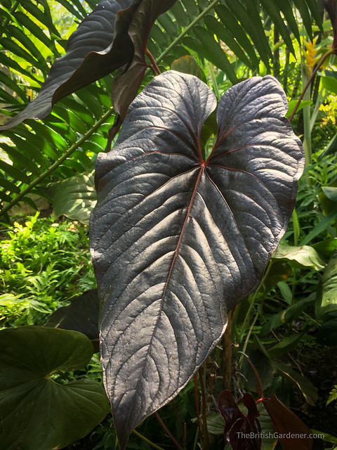 Anthurium andreanum'Red Beauty'