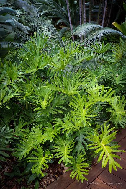 Philodendron bipinnatifidum 'Hope'