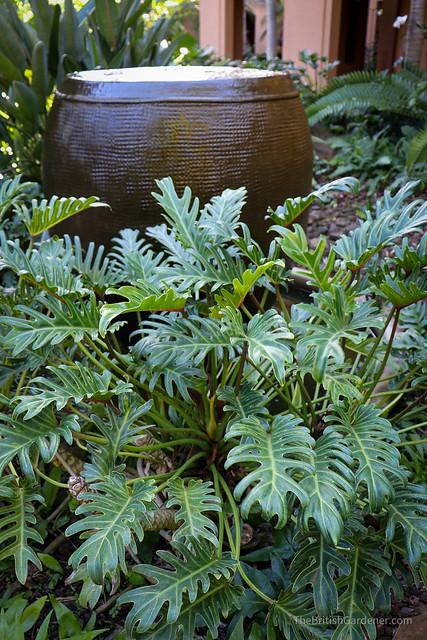 Philodendron bipinnatifidum 'xanadu'
