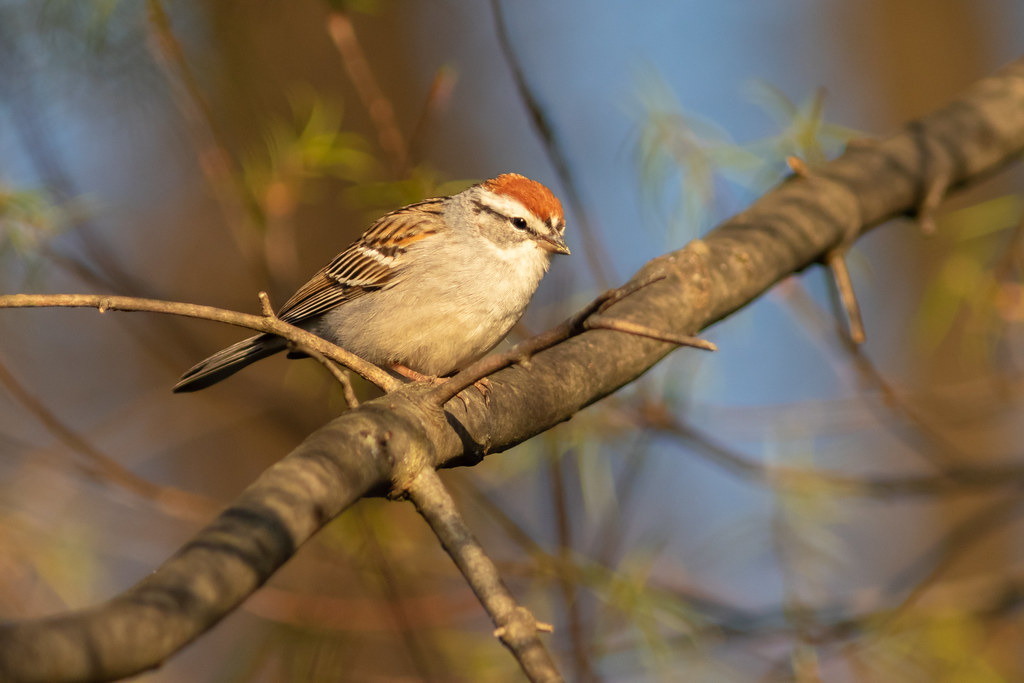 Chipping Sparrow in the Spring Bokeh