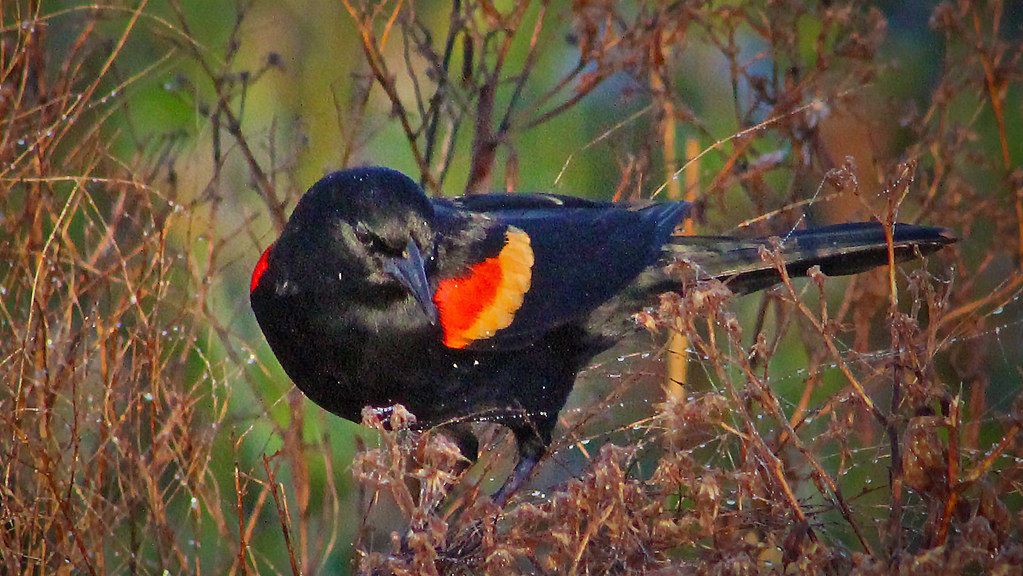 2021.03.17 Sweetwater Wetlands Red-winged Blackbird 9