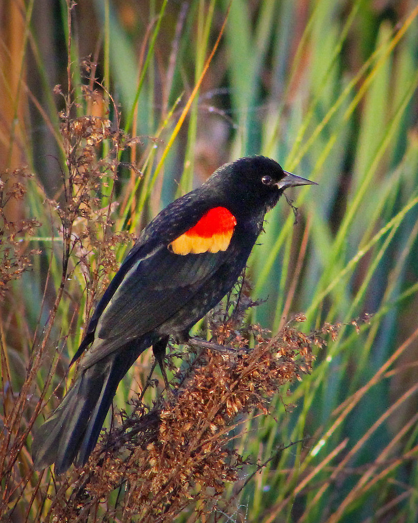 2021.03.17 Sweetwater Wetlands Red-winged Blackbird 7
