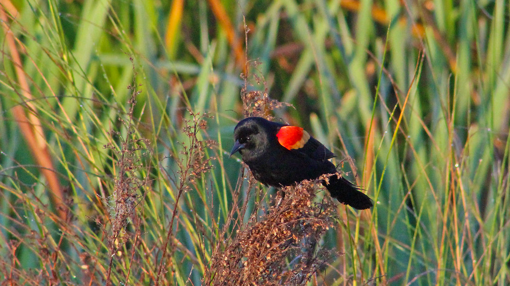 2021.03.17 Sweetwater Wetlands Red-winged Blackbird 5