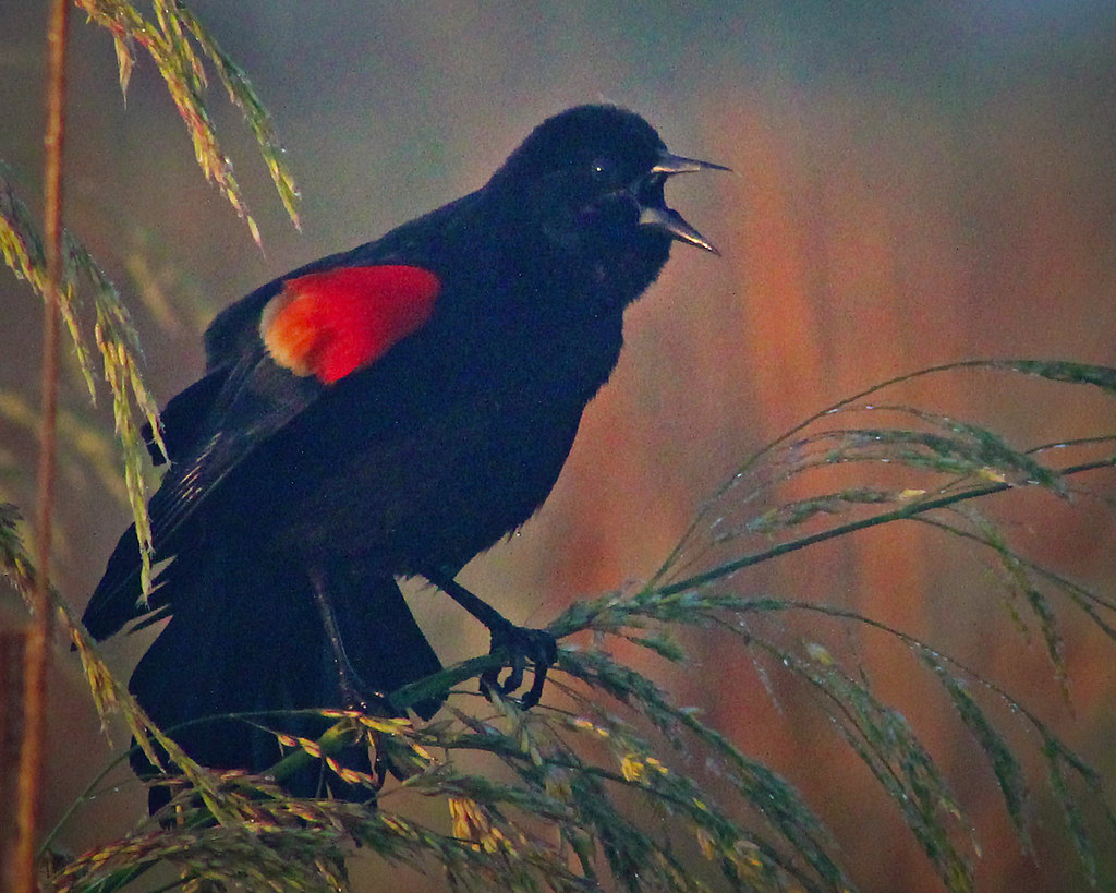 2021.03.17 Sweetwater Wetlands Red-winged Blackbird 4