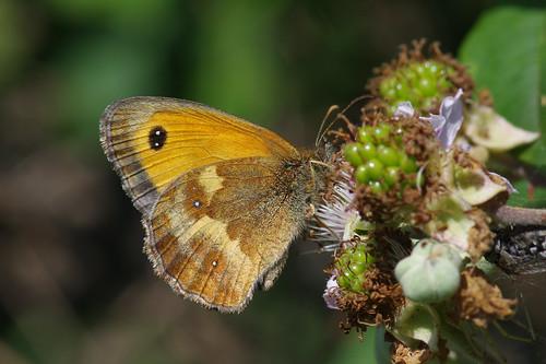 cambridgeshire devilsdyke pyroniatithonus butterfly gatekeeper insect nature wild wilflife