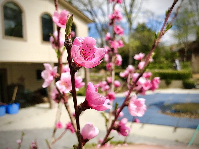 Cherry Blossoms of the Yard