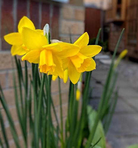 daffodils, my garden