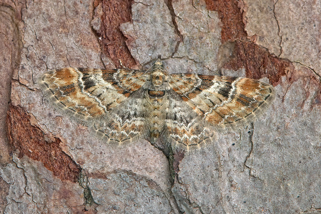 70.141 Double-striped Pug (Gymnoscelis rufifasciata), Burntisland, Fife