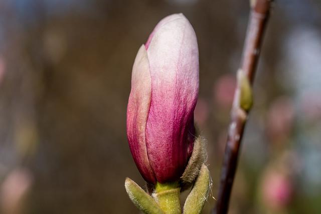Berlin, Gärten der Welt: Magnolienknospe mit  gesprengter Knospenhülle - Berlin, Gardens of the World: Magnolia bud with cover blown off