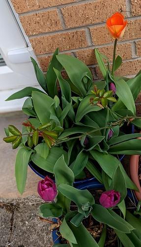 tulips, my garden