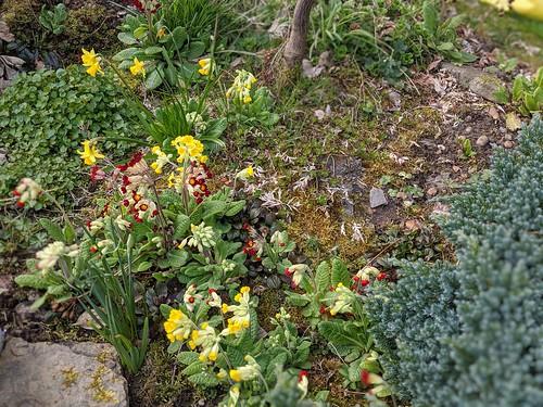 primulas, my garden